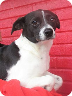 Rat Terrier Mix Dog for adoption in Reeds Spring, Missouri - Bailey