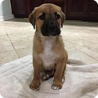Adopt A Pet :: Edward - Houston, TX
