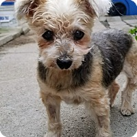 Adopt A Pet :: Sweet Pea - Chicago, IL