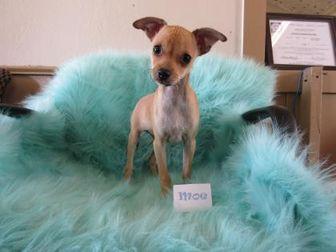 Chihuahua Mix Dog for adoption in Wichita Falls, Texas - Moe
