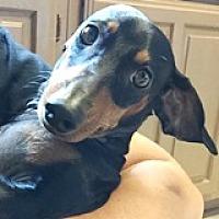 Adopt A Pet :: Neville Nescafe - Houston, TX