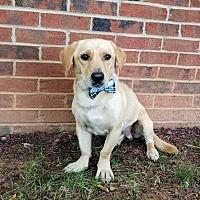 Adopt A Pet :: Buckwheat - Lexington, NC