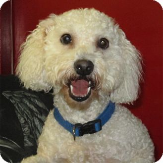 Bichon Frise/Miniature Poodle Mix Dog for adoption in Fairfield, Texas - Snowball (referral)