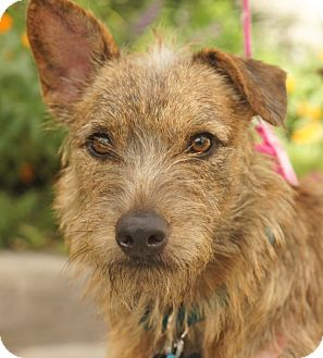 Fox Terrier (Wirehaired)/Wirehaired Fox Terrier Mix Dog for adoption in Houston, Texas - Frida (beautiful!)