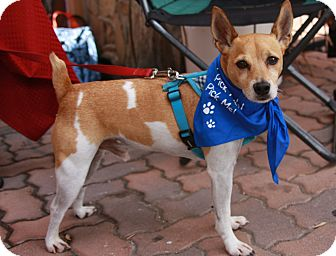 Jack Russell Terrier Dog for adoption in Lake Forest, California - Glitch