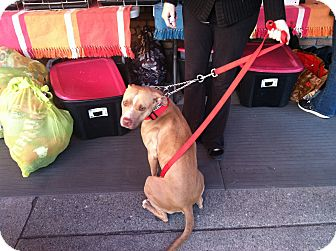Staffordshire Bull Terrier Mix Dog for adoption in North Hollywood, California - Olivia