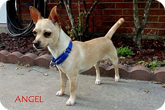 Chihuahua Puppy for adoption in Silsbee, Texas - Little Angel
