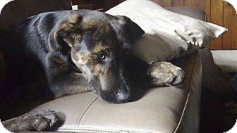 Labrador Retriever Mix Puppy for adoption in Hancock, Michigan - Beau