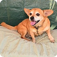 Chihuahua Mix Dog for adoption in Bonsall, California - Butch