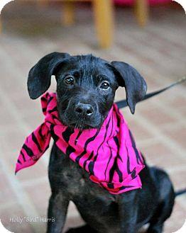 Terrier (Unknown Type, Medium) Mix Puppy for adoption in Baton Rouge, Louisiana - Izzy