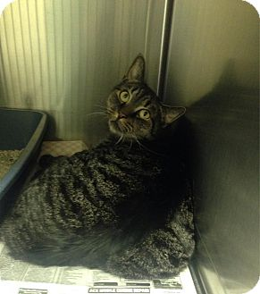 Domestic Shorthair Cat for adoption in Colonial Heights, Virginia - Lucille