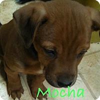 Adopt A Pet :: Mocha - Salem, MA