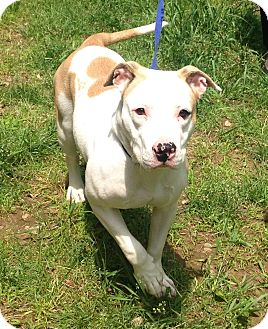 Pit Bull Terrier/Labrador Retriever Mix Dog for adoption in Bloomfield, Connecticut - Ella
