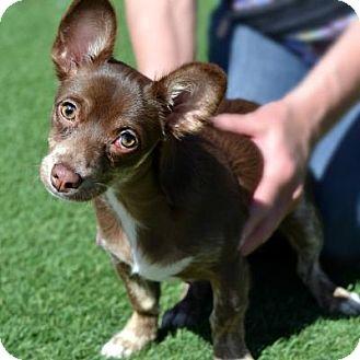 Chihuahua Mix Dog for adoption in Denver, Colorado - Taco