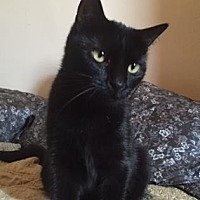 Domestic Shorthair Cat for adoption in New York, New York - Tressie