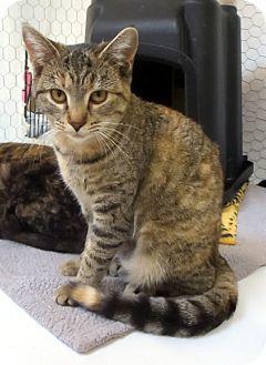 Domestic Shorthair Cat for adoption in Colville, Washington - Sierra
