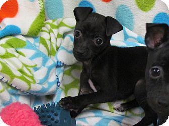 Chihuahua/Feist Mix Puppy for adoption in Hartford, Connecticut - PEBBLES