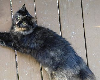 Domestic Longhair Cat for adoption in Marion, North Carolina - Anna