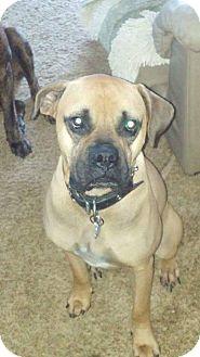 Boxer/Mastiff Mix Dog for adoption in Flintstone, Maryland - Samson