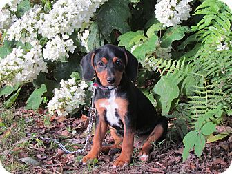 Beagle/Feist Mix Puppy for adoption in Hartford, Connecticut - BUNNY