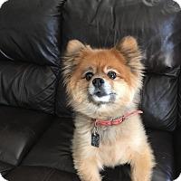 Adopt A Pet :: NICO - Mahopac, NY