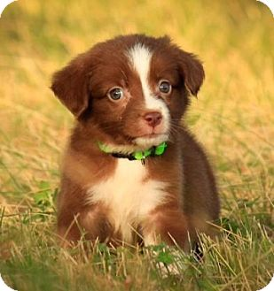 Border Collie Mix Puppy for adoption in Fredericksburg, Texas - Charmander