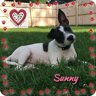 Jack Russell Terrier/Parson Russell Terrier Mix Puppy for adoption in Elgin, Illinois - Sunny