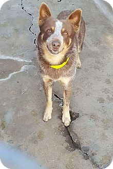 Australian Cattle Dog Mix Dog for adoption in Staunton, Virginia - Renegade