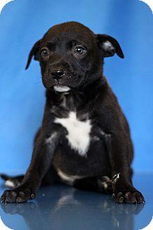 Labrador Retriever Mix Puppy for adoption in Waldorf, Maryland - Fushia