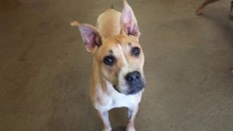 Boxer/American Pit Bull Terrier Mix Dog for adoption in Oxford, Wisconsin - Ariel