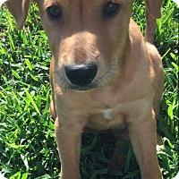 Adopt A Pet :: Tig - Houston, TX