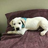 Adopt A Pet :: Levi - Cave Creek, AZ