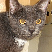 Adopt A Pet :: Argenta (Lap Cat) - Chattanooga, TN