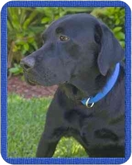 Labrador Retriever Dog for adoption in North Palm Beach, Florida - Buddy