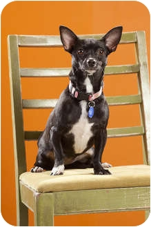 Chihuahua Mix Dog for adoption in Portland, Oregon - Roxy