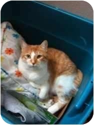 Domestic Shorthair Cat for adoption in Sugar Land, Texas - -Sydney