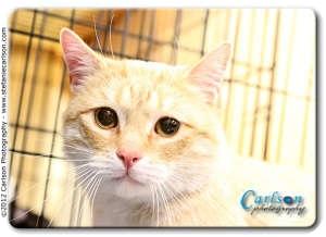 Domestic Shorthair Cat for adoption in Yorba Linda, California - Tommy