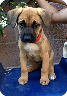 German Shepherd Dog Mix Puppy for adoption in Inglewood, California - Juliet