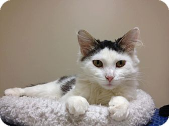 Domestic Shorthair Cat for adoption in Chicago, Illinois - Maui