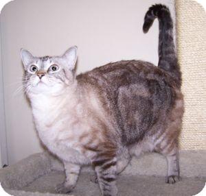 Siamese Cat for adoption in Colorado Springs, Colorado - Apple