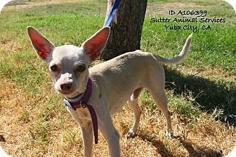 Chihuahua Mix Dog for adoption in Yuba City, California - 08/26 Unnamed