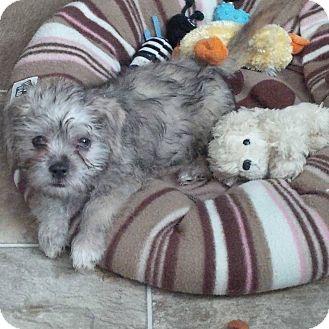 Dandie Dinmont Terrier/Shih Tzu Mix Puppy for adoption in Lincoln, Nebraska - CLOONEY