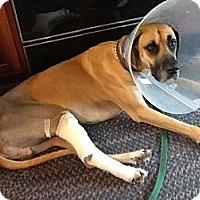 Adopt A Pet :: Samson - York, PA