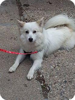 Spitz (Unknown Type, Medium) Mix Dog for adoption in Clarkston, Michigan - Coby