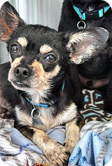 Chihuahua Mix Dog for adoption in Hagerstown, Maryland - Chico