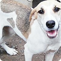 Adopt A Pet :: Lacie - Leesburg, VA