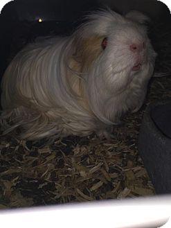 Guinea Pig for adoption in North Pole, Alaska - Rosie