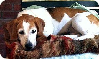 Beagle Dog for adoption in Houston, Texas - Bailee aka Sally