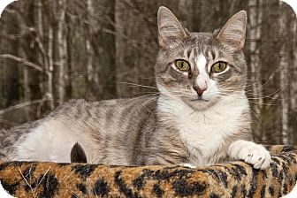Domestic Shorthair Cat for adoption in Cashiers, North Carolina - Dallas