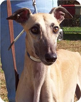 Greyhound Dog for adoption in Randleman, North Carolina - Amanda